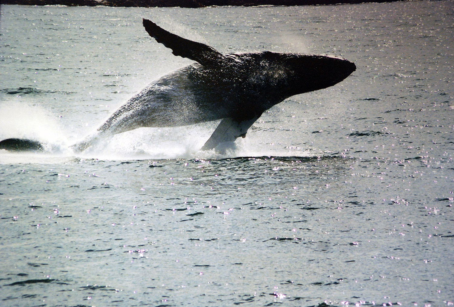 A humpback whale breaching on the waters of the Northern inside passage outside of Juneau.