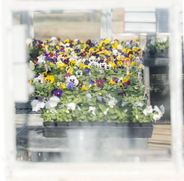 Students in the NW horticulture program are using existing greenhouses to grow a number of flowers.